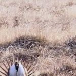 New Video Protecting Sage Grouse Habitat