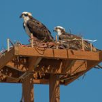two ospreys sitting in a nest atop a nesting platform