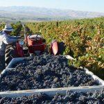 harvesting_grapes_fujishin_family_cellars