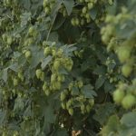 A row of hops at Obendorf Farms